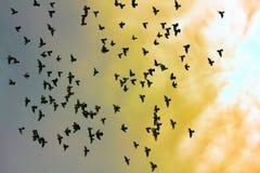 Troupeau des pigeons en ciel de coucher du soleil Photos stock