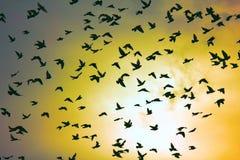 Troupeau des pigeons en ciel de coucher du soleil Image stock