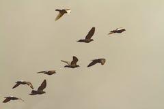 Troupeau des pigeons en vol Image stock