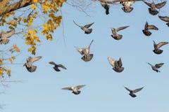 Troupeau des pigeons en vol Images stock