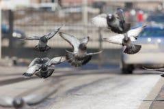 Troupeau des pigeons en vol Photo libre de droits