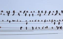 Troupeau des pigeons sur des fils. Yangon. Myanmar. Images libres de droits