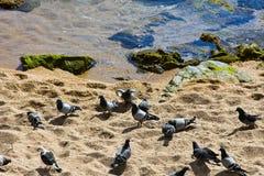 troupeau des pigeons sur la plage Image stock