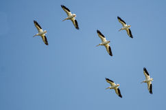 Troupeau des pélicans blancs américains volant dans un ciel bleu Image libre de droits