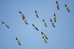 Troupeau des pélicans blancs américains volant dans un ciel bleu Photographie stock