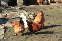 Troupeau des poulets frôlant sur la boue photo libre de droits
