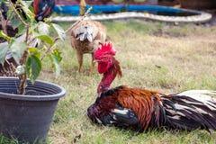 Troupeau des poulets frôlant sur l'herbe photos libres de droits