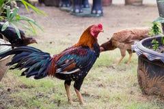 Troupeau des poulets frôlant sur l'herbe image libre de droits