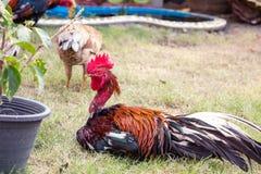 Troupeau des poulets frôlant sur l'herbe photos stock