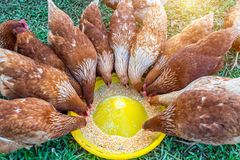 Troupeau des poulets mangeant de la nourriture photographie stock