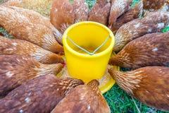 Troupeau des poulets mangeant de la nourriture photographie stock libre de droits