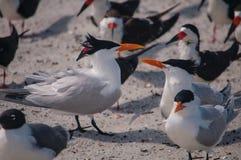 Troupeau des sternes royales sur une plage à Jacksonville la Floride Image stock