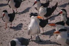 Troupeau des sternes royales sur une plage à Jacksonville la Floride Photo stock