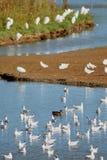 Troupeau des waterbirds dans le marais de trou noir Photographie stock libre de droits
