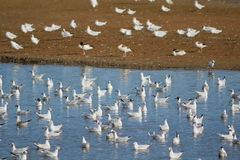 Troupeau des waterbirds dans le marais de trou noir Photo stock
