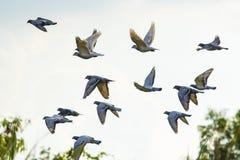 Troupeau du vol de brid de pigeon d'emballage de vitesse photographie stock