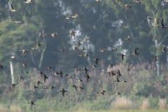 Troupeau du vol de canards photographie stock libre de droits