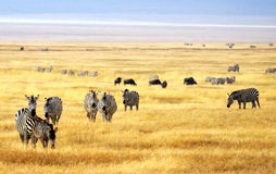 Troupeau du zèbre à un parc national en Afrique Photos libres de droits