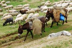 Troupeau et ânes de moutons Photographie stock