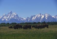 Troupeau grand de buffle de Teton Photographie stock libre de droits
