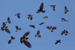 Troupeau gris des corneilles en vol sur un fond bleu Photos libres de droits