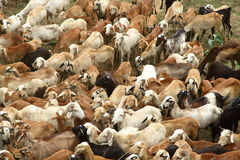 Troupeau indien de moutons Photographie stock
