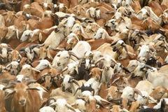 Troupeau indien de moutons Photos libres de droits