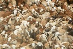 Troupeau indien de moutons Photo libre de droits