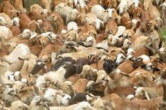 Troupeau indien de moutons Image stock