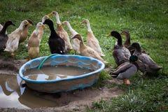 Troupeau mélangé des canards Photos libres de droits