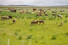 Troupeau mélangé frôlant dans la perspective de la steppe photos libres de droits