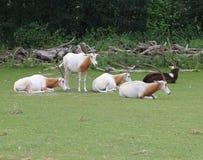 troupeau rare d'oryx de cimeterre frôlant l'herbe images libres de droits