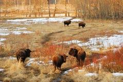 Troupeau sauvage de bison Photographie stock