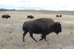 Troupeau sauvage de Buffalo recherchant la nourriture chez Yellowstone images libres de droits