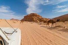 Troupeau sauvage de chameaux vu à la visite de jeep, Wadi Rum, Moyen-Orient, Jordanie photos libres de droits