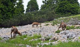 Troupeau sauvage de chamois dans le sauvage tandis que frôlez parmi les roches photographie stock libre de droits