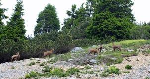 Troupeau sauvage de chamois dans le sauvage tandis que frôlez parmi les roches images libres de droits