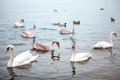 troupeau sauvage de cygne sur l'étang image libre de droits
