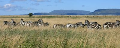 Troupeau Serengeti Tanzanie de zèbre Photos stock
