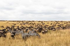 Troupeaux énormes d'ungulates sur les plaines de Serengeti La savane de Mara de masai Le Kenya, Afrique Image stock