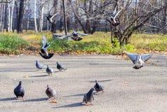 Troupeaux d'atterrissage des pigeons. Photographie stock