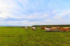 Troupeaux de bétail dans le pré Images libres de droits