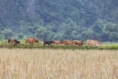 Troupeaux de bovins dans le domaine de riz Photos stock