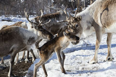 Troupeaux de cerfs communs dans la neige Photographie stock
