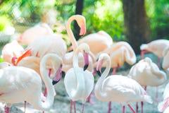Troupeaux de flamant, fonds naturels Photographie stock libre de droits