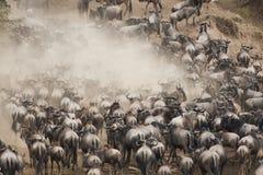 Troupeaux de gnou dans la grande migration, Kenya Images stock