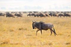Troupeaux de gnous dans le Ngorongoro Photographie stock libre de droits