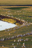 Troupeaux de moutons Image libre de droits