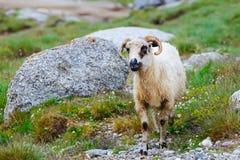 Troupeaux de moutons aux pâturages alpins Photo libre de droits