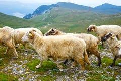 Troupeaux de moutons aux pâturages alpins Photographie stock libre de droits